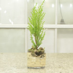 Centro Garden Feature Products Mini Cypress in Birch Container